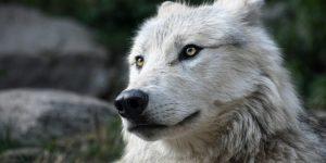 adiestramiento canino en positivo lobo