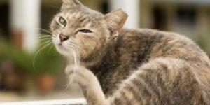 gato-alergia-intolerancia