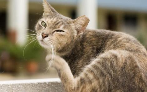 gato intolerancia alergia alimentaria