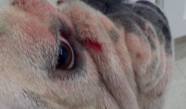 perro cara roja rascarse alergia pollo