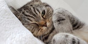 signos-de-dolor-en-gatos