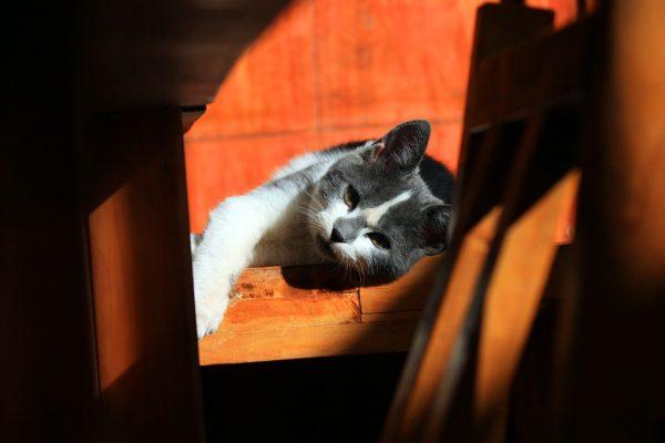 inmunodeficiencia felina gatos