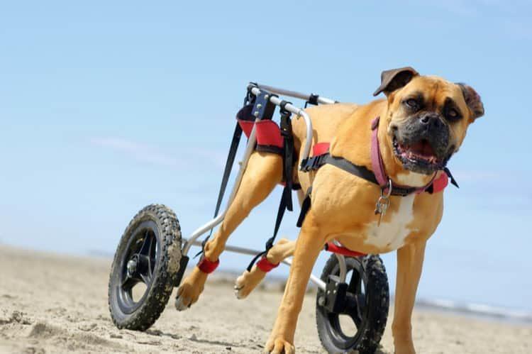 Sillas de ruedas y Ortopedia para perros y gatos mayores